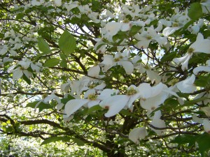Native Dogwood